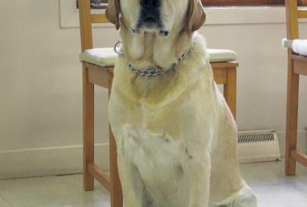 Rupture du ligament croisé crânial chez le chien