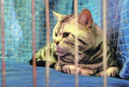 Les chats peuvent aussi faire de la fièvre