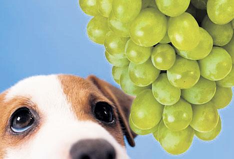 Des sources d'empoisonnement pour votre chien