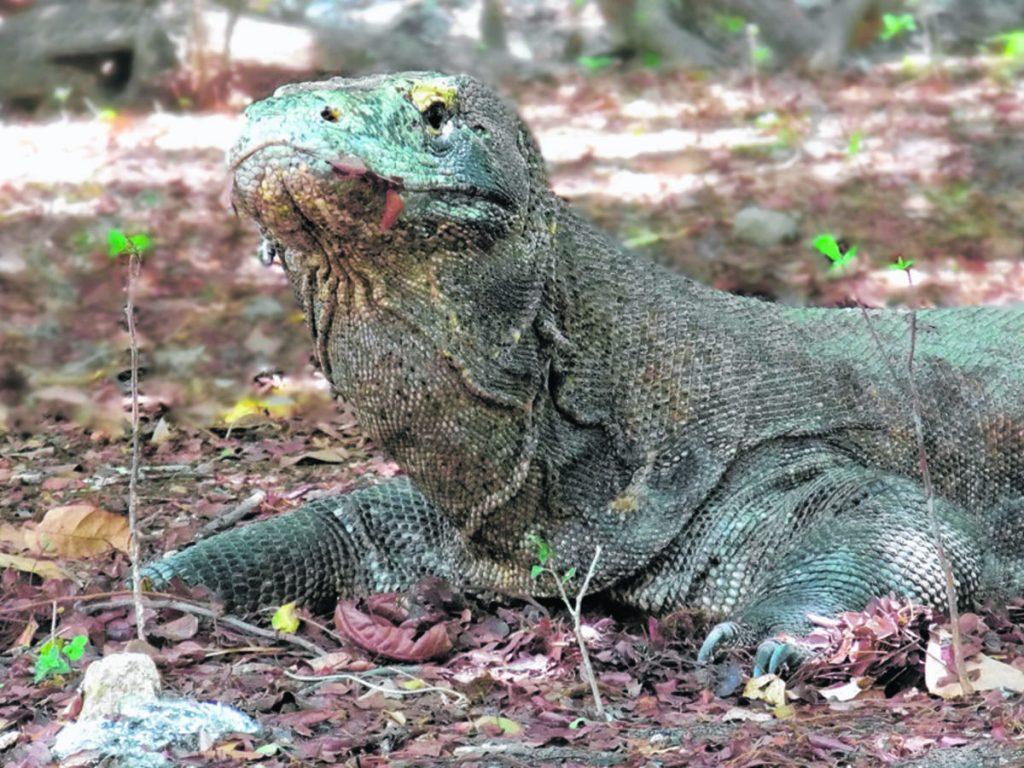 À la découverte des dragons de Komodo