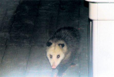 Des opossums dans le Haut-Richelieu?