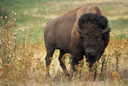 Le bison, une viande rouge de choix
