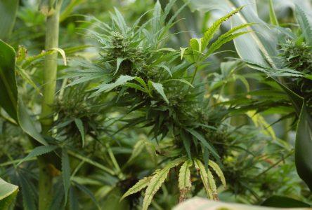 Production de cannabis: appel à la vigilance