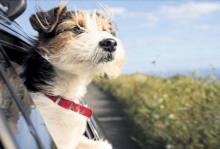 Votre chien est-il anxieux à bord de votre véhicule?