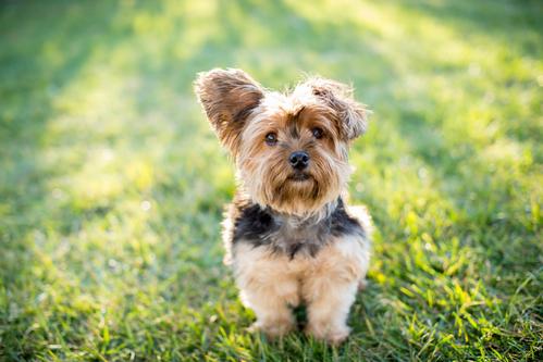 Les dix races de chiens les plus populaires au Québec