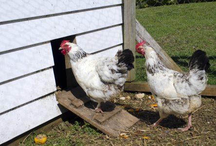 La population consultée sur les poules urbaines