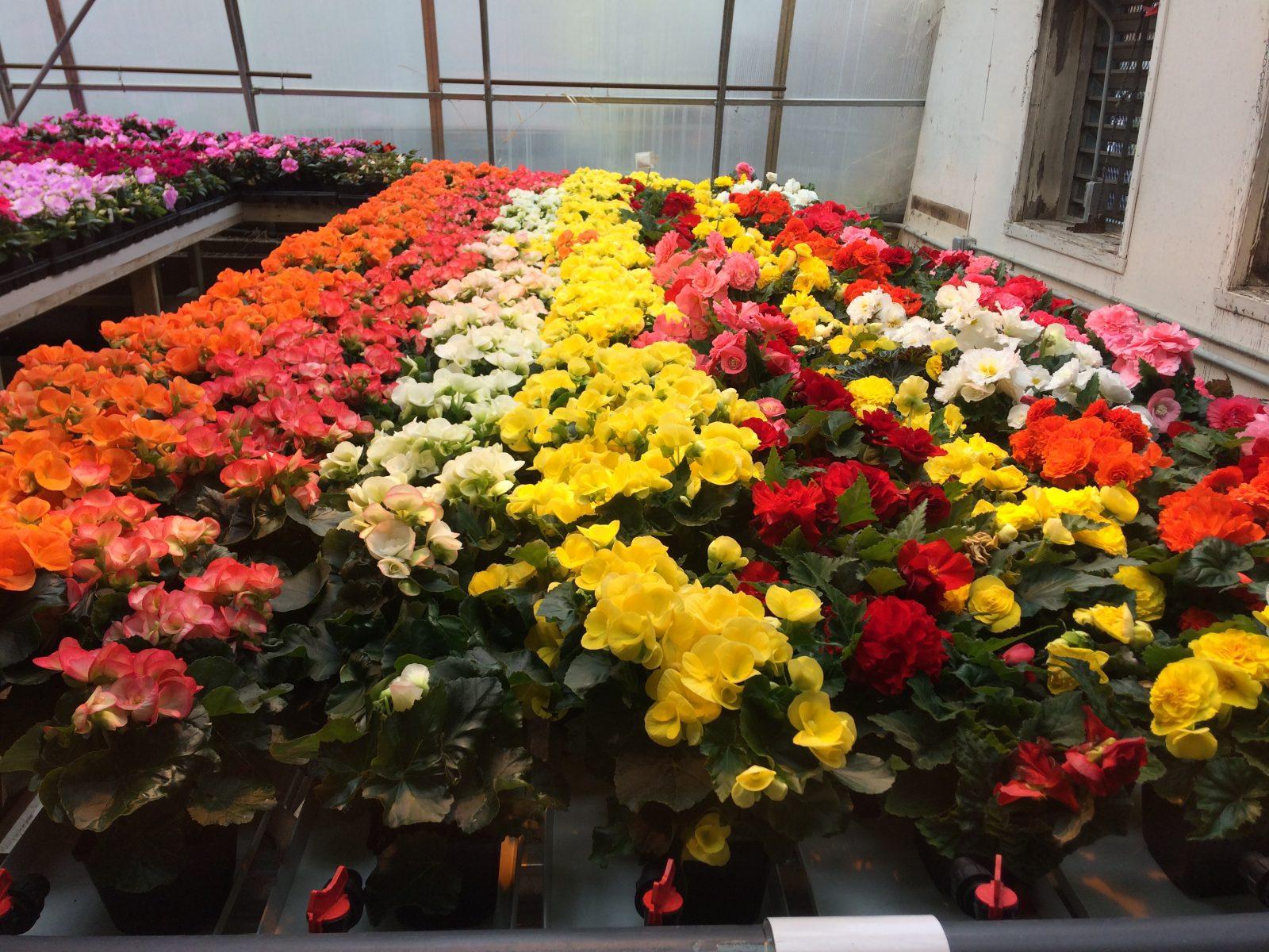 Vente de fleurs au Cégep jusqu'à vendredi midi