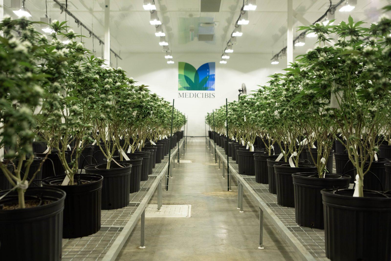 Incursion dans les serres de cannabis de Médicibis